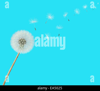 fluffy Dandelion flower with seeds blowing away on a blue background - Stock Photo