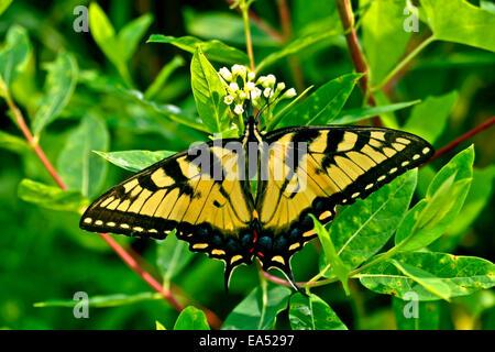 Yellow Western Tiger Swallowtail - Papilio rutulus