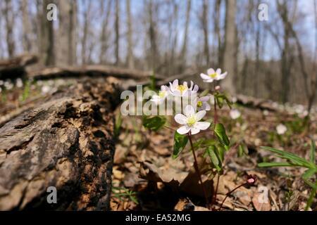 Rue anemone, spring ephemeral wildflower. - Stock Photo