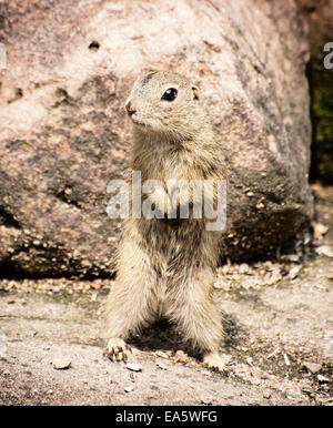The European ground squirrel (Spermophilus citellus), also known as the European souslik, is a species from the - Stock Photo