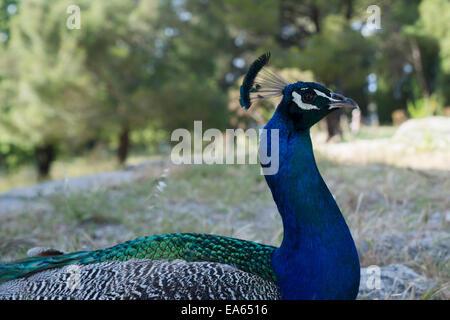 Peacock in Filerimos, Rhodes, Greece - Stock Photo