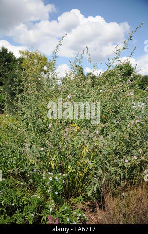 Armenia mallow - Stock Photo