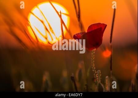 France, Poppy at sunset - Stock Photo
