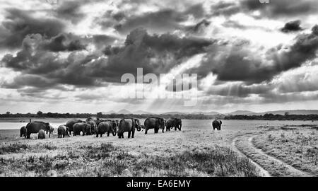 Sri Lanka, Galkulama, Elephants in Kaudulla National Park - Stock Photo