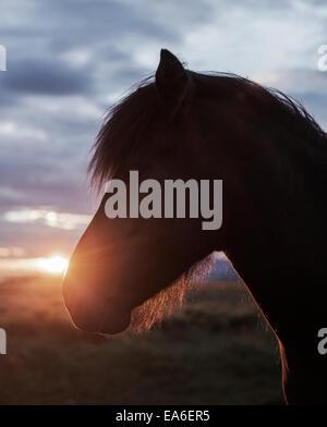 Iceland, Reykjavik, Close-up of horse's head at sunset - Stock Photo