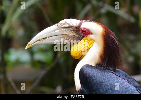 Indonesia, West Java, Bogor, Taman Safari, Rhinoceros hornbill - Stock Photo