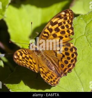 Argynnis paphia - Stock Photo