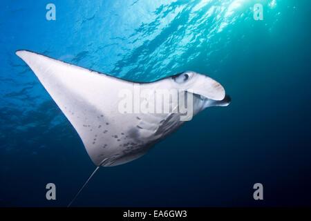 Coastal Manta Ray (manta alfredi), Hawaii, America, USA - Stock Photo