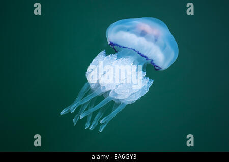 Rhizostoma. Dangerous jellyfish lives in the Black sea, has long tentacles with stinging cells which can leave burns - Stock Photo