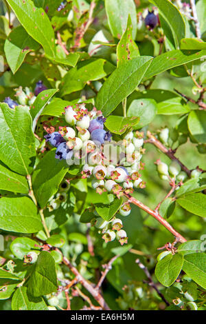 Northern highbush blueberries at various stages of ripening growing on the bush in New Hampshire, USA. - Stock Photo