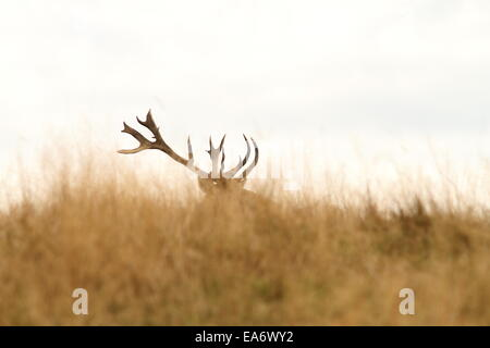 red deer ( Cervus elaphus )  big trophy hiding in big faded grass during rutting season - Stock Photo