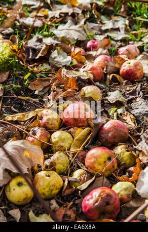 Rotting apples on the ground; Toronto, Ontario, Canada - Stock Photo