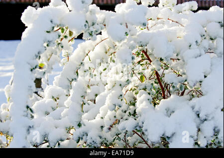 Beautiful sunny bush cover with snow - Stock Photo