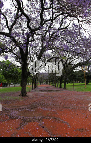 Jacaranda trees in the 'Palermo Woods'. Buenos Aires, Argentina. - Stock Photo