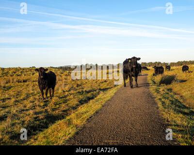 Highland angus cow grazing green grass on a farm grassland - Stock Photo