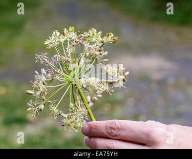 Angelica archangelica, commonly known as garden angelica, Holy Ghost, wild celery, and Norwegian angelica. - Stock Photo