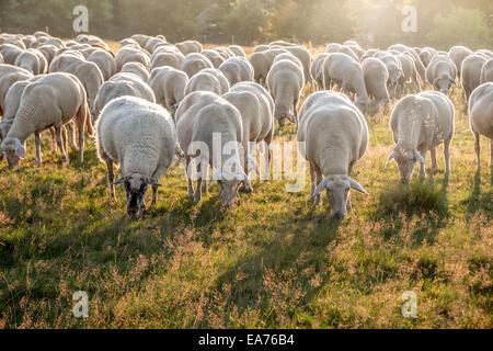 Flock Of Sheep in the Taunus mountains near Engenhahn, Hesse, Germany - Stock Photo