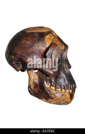 'Lucy' Australopithecus afarensis Skull Cast