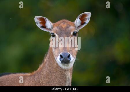 Nilgai Boselaphus tragocamelus portrait - Stock Photo