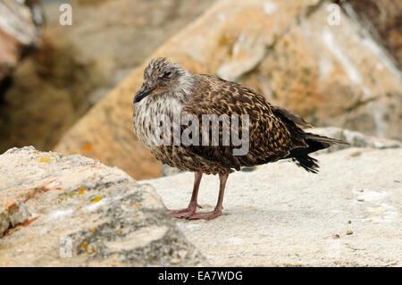 Yellow-legged gull fledgling (Larus michahellis) - Stock Photo