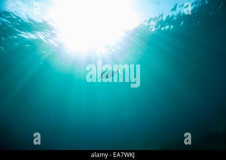 Sea bream swimming in the blue Mediterranean Sea, Malta. - Stock Photo