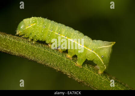 Copper Underwing, Humped Green Fruitworm, or Pyramidal Green Fruitworm larva (Amphipyra pyramidea) - Stock Photo