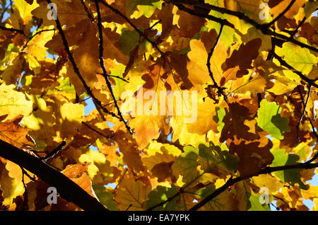 Autumn background of the oak leaves - Stock Photo