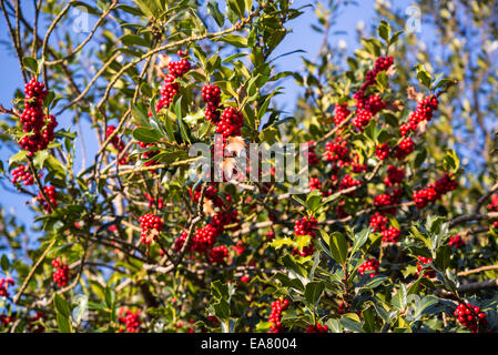 Red berries, European Holly (Ilex aquifolium) leaves and fruit - Stock Photo