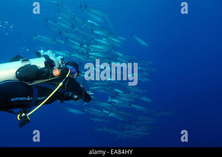 Diver looking at a flock of Sawtooth barracuda (Sphyraena putnamae) Bohol Sea,  Philippines, Southeast Asia - Stock Photo