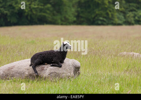 Rock of Lamb in a Pasture. A young sheep warms up on a warm rock in the middle of a pasture. - Stock Photo