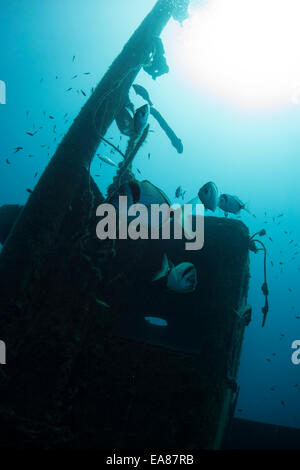 Two-banded sea bream, Diplodus vulgaris, on a wreck in Cirkewwa, Malta, Mediterranean Sea. - Stock Photo