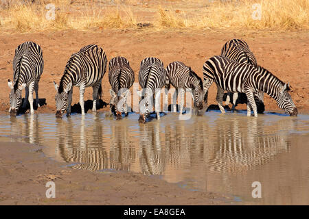 Plains Zebras (Equus burchelli) drinking water, Pilanesberg National Park, South Africa - Stock Photo
