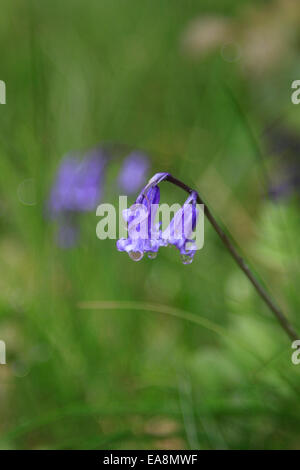 Common Bluebell (Hyacinthoides Non-Scripta) flowering in woodland in the United Kingdom - Stock Photo