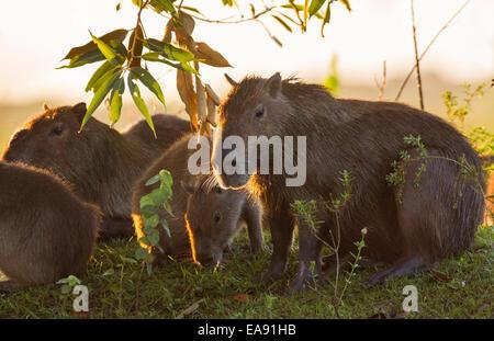 Backlit capybara family (Hydrochoerus hydrochaeris) feeding early in the morning, Los Ilanos del Orinoco, Venezuela. - Stock Photo