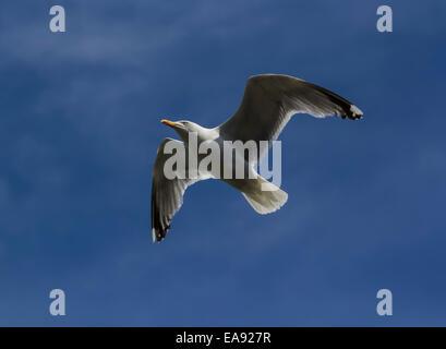 Seagull in flight, against blue sky - Stock Photo