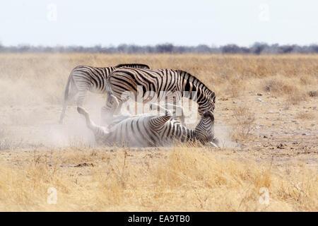 Zebra rolling on dusty white sand. Etosha national Park, Ombika, Kunene, Namibia. True wildlife photography Stock Photo