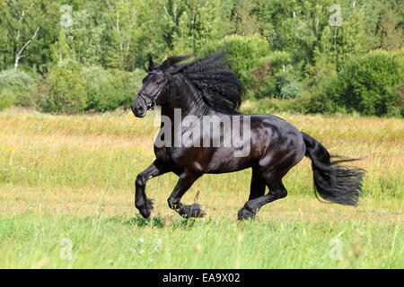 Amazing friesian horse (Equus ferus caballus). Stallion in a gallop on a meadow. in summer field - Stock Photo