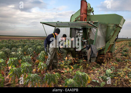 Farm machinery and farm tractor in Southport, UK. 10th November, 2014.  UK Weather.  Early ripening & picking of - Stock Photo