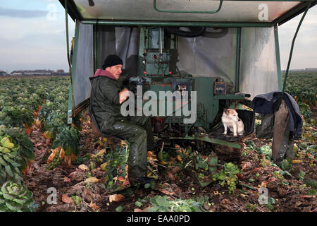 Farm machinery and farm tractor in Southport, UK. 10th November, 2014.  UK Weather.  Early ripening of Brussel sprouts - Stock Photo