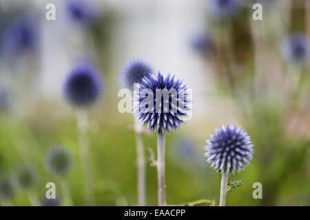 Echinops bannaticus 'Taplow Blue' - Stock Photo