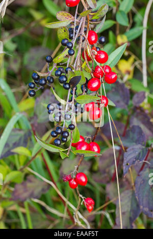 Black berries of Wild Privet  intertwined with red berries of Black Bryony - Stock Photo