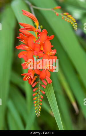 Crocosmia x crocosmiflora flowers in an herbaceous border. - Stock Photo