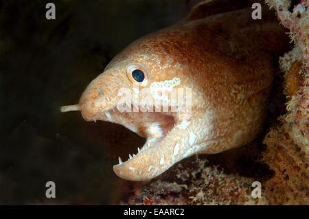 greyface moray, freckled moray, slender moray, or white-eyed moray (Gymnothorax thyrsoideus) Bohol Sea, Philippines, - Stock Photo