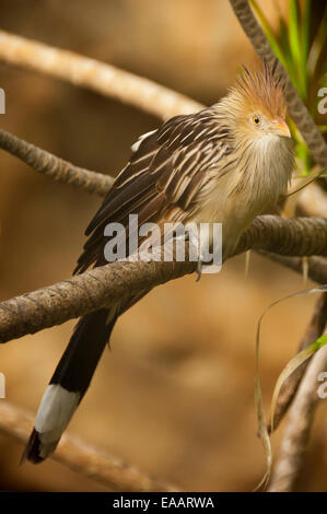 Vertical close up of a Guira cuckoo, Guira guira, in an aviary. - Stock Photo