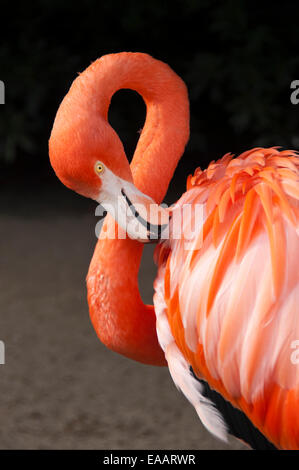 Vertical close up of an American or Caribbean flamingo, Phoenicopterus ruber, in an aviary. - Stock Photo