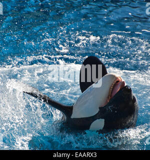 Square close up of an Orca or killer whale. - Stock Photo