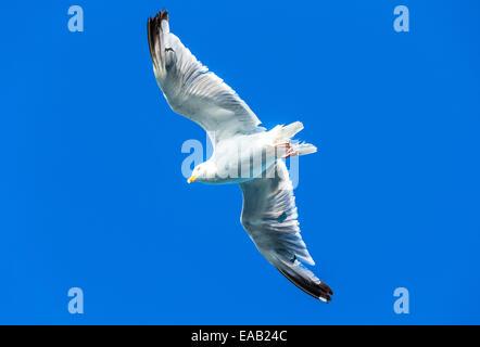 A seagul in flight against a brigh blue clear sky - Stock Photo