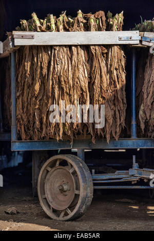 Tobacco leaves drying in an Amish barn,  Lancaster County, Pennsylvania, USA - Stock Photo