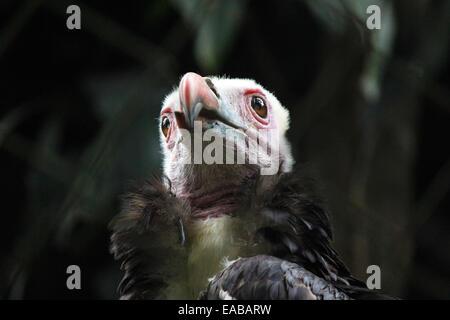 Head of a White-Headed Vulture (Trigonoceps occipitalis) - Stock Photo