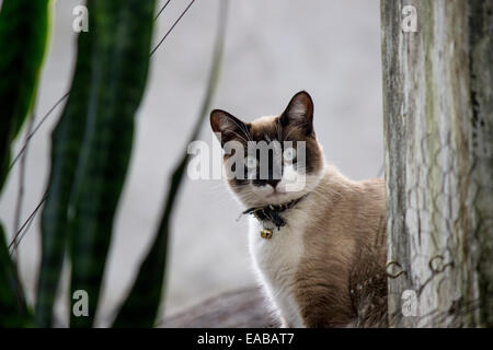 A Siamese cat sitting on a rooftop peaks around a wooden post. - Stock Photo